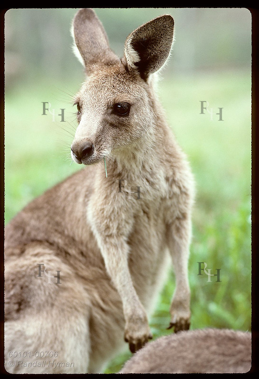 Smallest and furriest of the kangaroos, this wallaroo, or euro, gazes to side in zoo; Wagga, NSW Australia