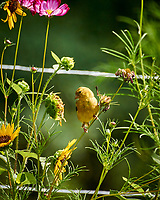 Goldfinch eating Cosmos Flower. Image taken with a Nikon 1 V3 camera and 70-300 mm VR lens