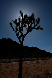 A Joshua Tree (Yucca brevifolia) silhouetted by the sun with rock formations in the background, Joshua Tree National Park, California, United States of America