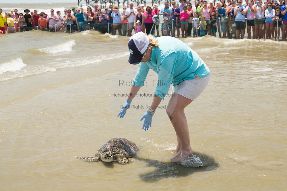 A volunteer places a rehabilitated Green sea turtle back into the Atlantic ocean during the release of rescued sea turtles May 14, 2015 in Isle of Palms, South Carolina. The turtles were rescued along the coast and rehabilitated by the sea turtle hospital at the South Carolina Aquarium in Charleston.
