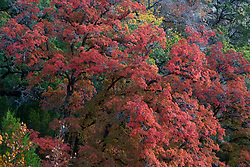 Stock photo of seasonal fall foliage changing colors in the Texas Hill Country