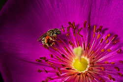 A bee crawls inside the bloom of Rock Purslane (Calandrinia spectabilis) in a back yard in Oakland, Calif., Thursday, May 17, 2018. (Photo by D. Ross Cameron)