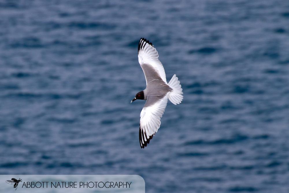 Swallow-tailed Gull (Creagrus furcatus) in flight<br /> ECUADOR: Galapagos Islands<br /> Plazas Island<br /> 19-Aug-2010<br /> J.C. Abbott &amp; K.K. Abbott