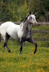 Appalooza<br /> Appaloosa Horse Club Belgium - Herk de Stad 2003<br /> Photo © Dirk Caremans