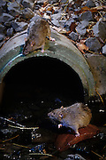 Two brown rats (Rattus norvegicus) near city sewer outlet. Portland, Oregon. These rats are not native, but are european in origin and have followed human settlements around the world. Captive illustration.