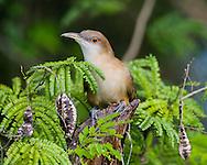 A Great Lizard-Cuckoo (Coccyzus merlini) perched on a stump. Bermejas Forest Reserve, Cuba.