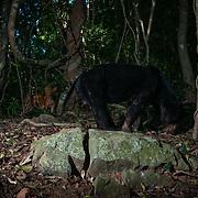A sun bear (Helarctos malayanus) being observed by a dhole (Cuon alpinus) in the Kaeng Krachan National Park, Thailand.