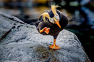 The tufted puffin, also known as crested puffin, is a relatively abundant medium-sized pelagic seabird in the auk family found throughout the North Pacific Ocean.