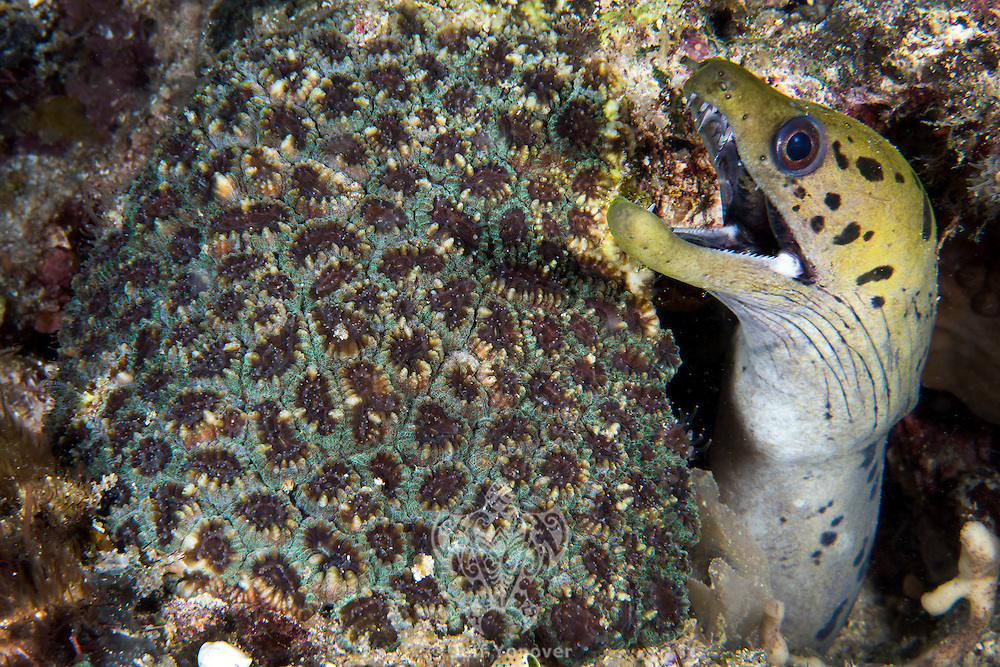 A Moray Eel peeks out from behind a coral colony<br /> <br /> Shot in Indonesia