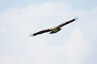 Kaiseradler trägt grünen Zweig, Aquila heliaca, Ost-Slowakei / Eastern Imperial Eagle carrying green twig for the nest, Aquila heliaca, East Slovakia