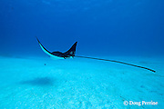 spotted eagle ray, Aetobatus narinari, at Eagle Ray City, Saipan. Commonwealth of Northern Mariana Islands<br /> Micronesia ( Western Pacific Ocean )