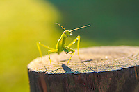 Praying Mantis On Log Image for sale.<br />