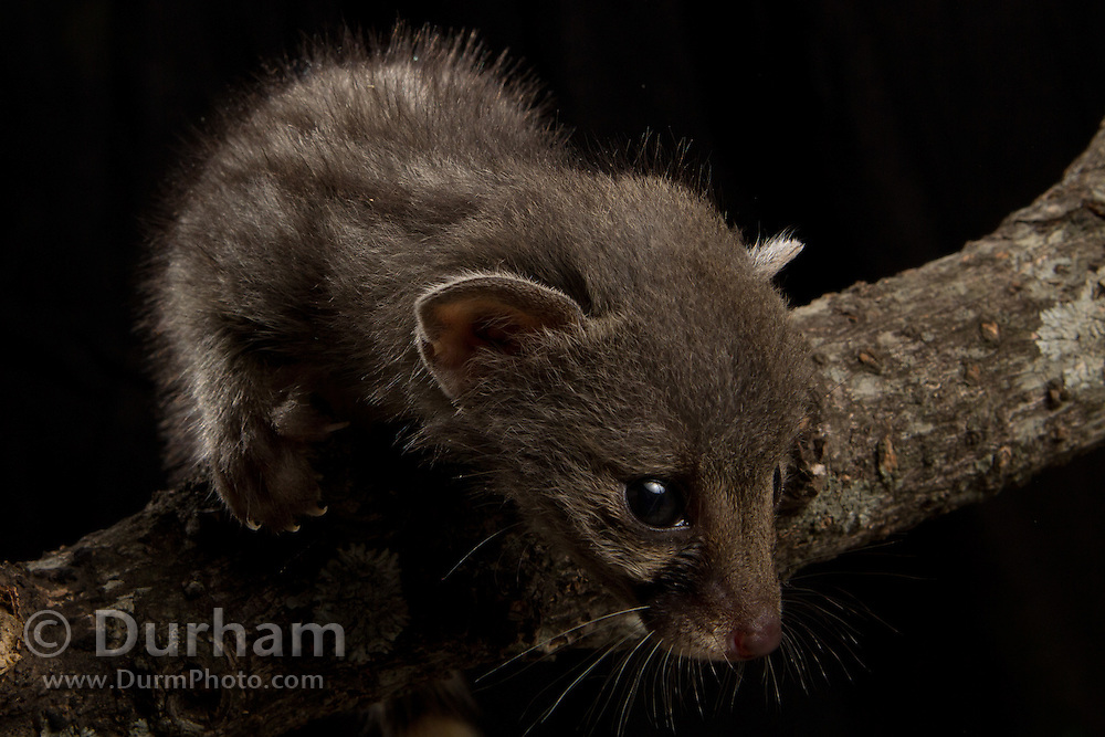 A very young small-spotted genet (Genetta genetta) rescued from a driveway and delivered to the Chipangali Wildlife Orphanage near Bulawayo, Zimbabwe. © Michael Durham / www.DurmPhoto.com