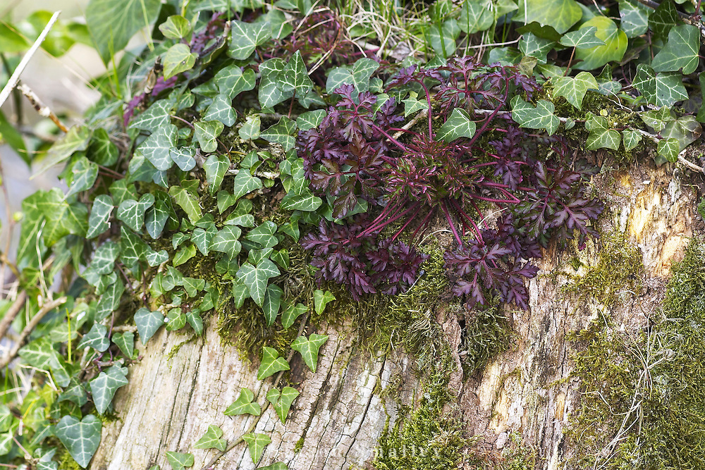 ivy and Herb Robert growing on old tree stump