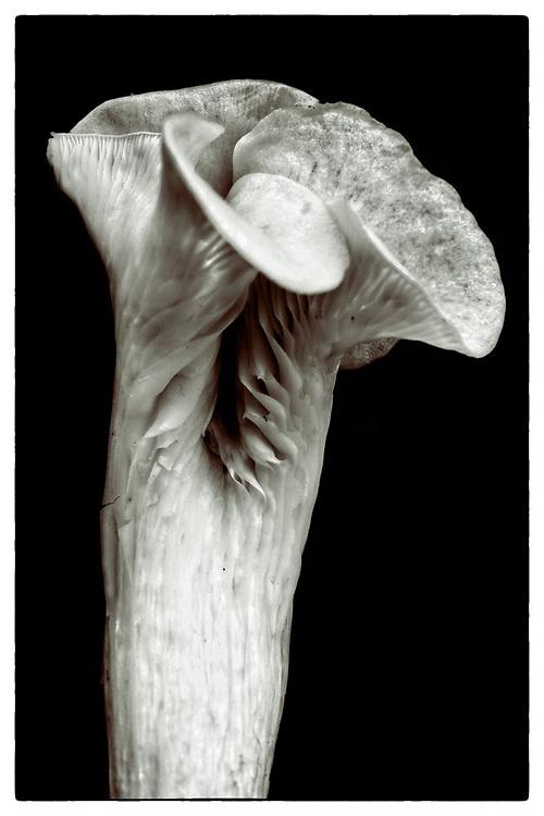 "Pleurotus cornucopiae #II from the series: ""Pleurotus cornucopiae"" (2014/2017)."