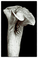 "Pleurotus cornucopiae #II from the series: ""Pleurotus cornucopiae"" (2014/2017)."