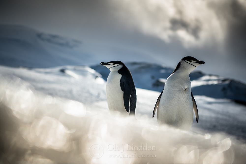 Chinstrap Penguin (Pygoscelis antarcticus) at Bailey Head in Anarctica