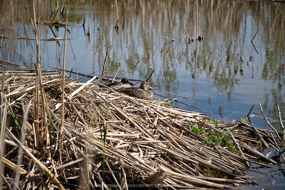 Mallard ducks in wetland pond (Anas platyrhynchos).