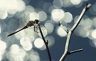 DEU, Germany, Common Darter (lat. Sympetrum striolatum).....DEU, Deutschland, Grosse Heidelibelle (lat. Sympetrum striolatum)