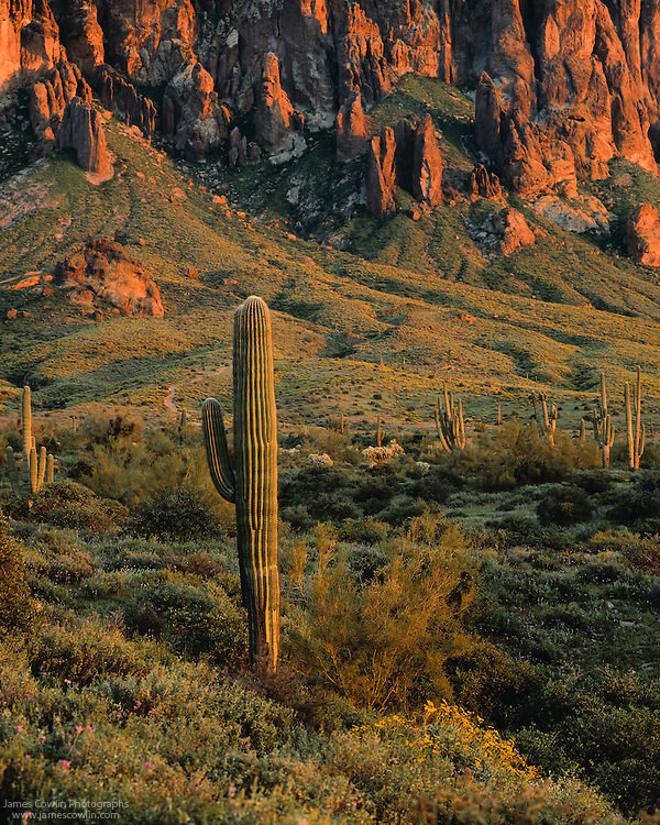 Setting sun illuminates saguaro cactus and the Superstition Mountains in Lost Dutchman State Park in the Sonoran Desert of Arizona