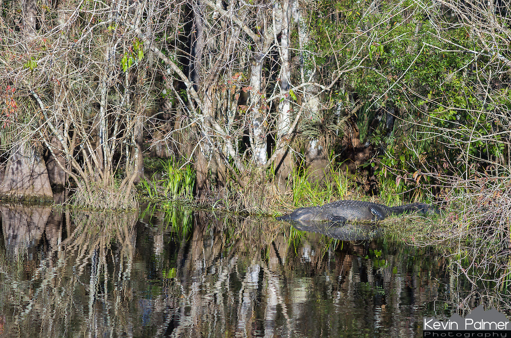 This was the first gator I saw in Big Cypress National Preserve. He was taking a nap in the evening sunlight.<br /> <br /> Date Taken: 12/14/2014
