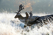 © Licensed to London News Pictures. 02/11/2016. Richmond, UK. Deer feed amongst the frosty grasses.  Deer in the frost in Richmond Park London today 2nd November 2016. much of the country experienced a frost overnight. Photo credit : Stephen Simpson/LNP