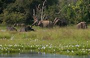 Elephants at Wasgomuwa National Park.
