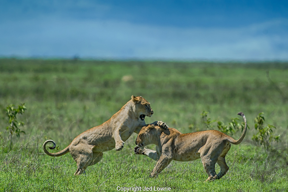 These two took a couple minutes to play before stalking a herd of wildebeest. The perfectly curled tail adds an eye catching element to this image.