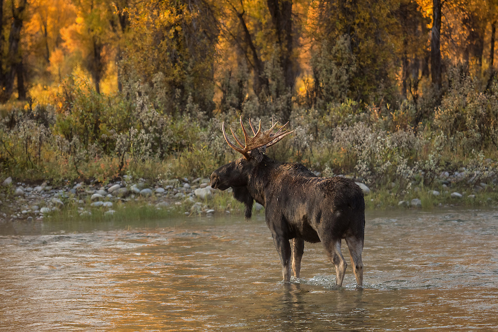 In the early morning hours, a bull moose retreats to the shade of the cottonwood trees. Moose frequent this area along the Gros Ventre River during the autumn rut and can often be seen courting along the river's edge.