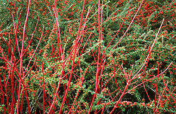Cornus sibirica in front of cotoneaster at Lady Farm