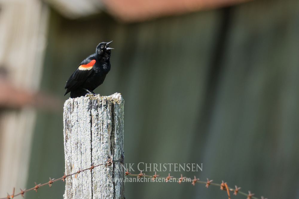 A red-winged blackbird calls out while perched on a fence post, Wolf Island, Ontario, Canada.