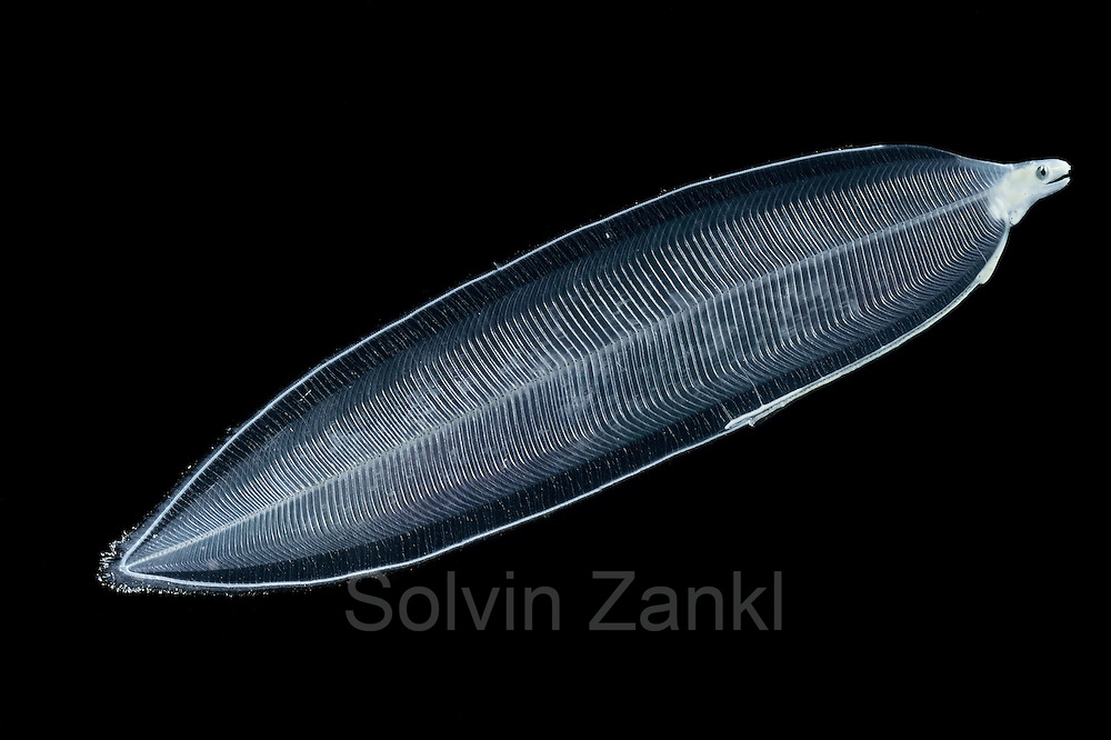 [captive] Leptocephalus larva. Larval stage of an eel. deep sea Atlantic ocean. Atlantic Ocean, close to Cape Verde |