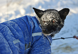 March 8, 2017 - Tanana, Alaska, U.S. - Iditarod musher Alan Eischens sled dog ZEPHER looks back at the musher with a frosty face after arriving in Tanana during the 2017 Iditarod Trail Sled Dog Race. (Credit Image: © Bob Hallinen/Alaska Dispatch News via ZUMA Wire)