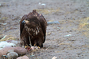 The Bald Eagle (Haliaeetus leucocephalus) is a North American bird of prey and the national symbol of the United States. Due to the use of DDT the Bald Eagle was nearly wiped out from the continental United States. With the banning of DDT and various protection efforts the Bald Eagle made a strong recovery and has now been removed from threatened and endangered lists...This juvenile Bald Eagle, identifiable via the brown body with white speckles, has taken refuge from the winter in Squamish in British Columbia, Canada. Squamish is one of the best place in the world to view Bald Eagles as they congregate to feed on spawning salmon in the Winter months of December and January. Juvenile Bald Eagles keep this colouring for about five years until they reach sexual maturity.