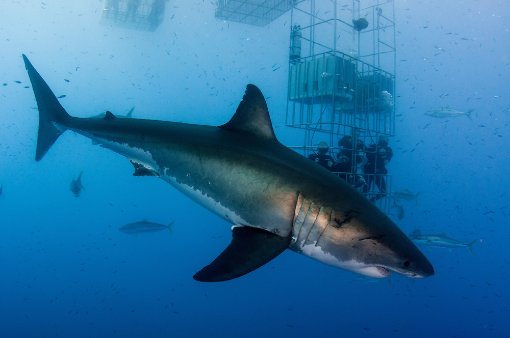Great white sharks, Carcharodon carcharias, off Guadalupe Island, Mexico are a major tourist draw. While it is controversial no one can deny the economic argument for protecting sharks as tourist attraction.