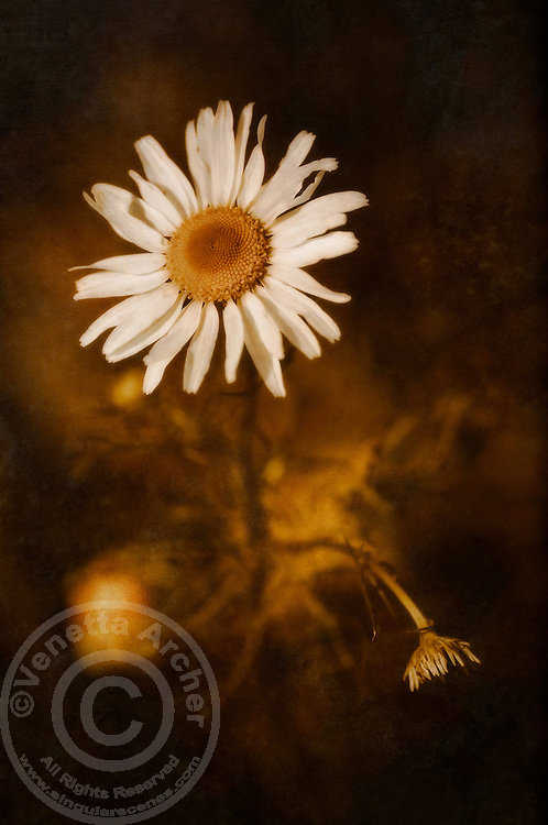 A delicate daisy in the warm glow of the summer sun.