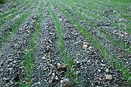 France, Languedoc Roussillon, Cévennes, Gard, culture d'oignons doux des Cévennes, jeunes pousses