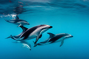 Pod of Dusky Dolphins swim past off the Kaikoura Peninsula, South Island, NZ.