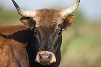 Heck cattle (Bos taurus), close-up portrait of cow. Oostvaardersplassen, Netherlands. June. Mission: Oostervaardersplassen, Netherlands, June 2009.