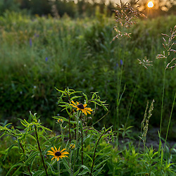 Black-eyed susans at sunrise in a field in Meredith, New Hampshire.
