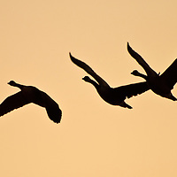 Flying Canada Geese (Branta canadensis) against an early November sunset, Blackwater National Wildlife Refuge, Cambridge, MD