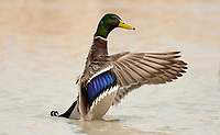 Drake Mallard stretches and drys its wings in a northern Utah pond.