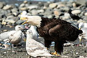 An adult bald eagle calls out as it eats fish scraps on the beach at Anchor Point, Alaska.