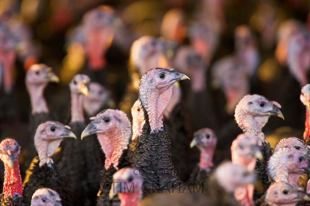 Free-range Norfolk bronze turkeys return to their barn after  roaming at Sheepdrove Organic Farm , Lambourn, England