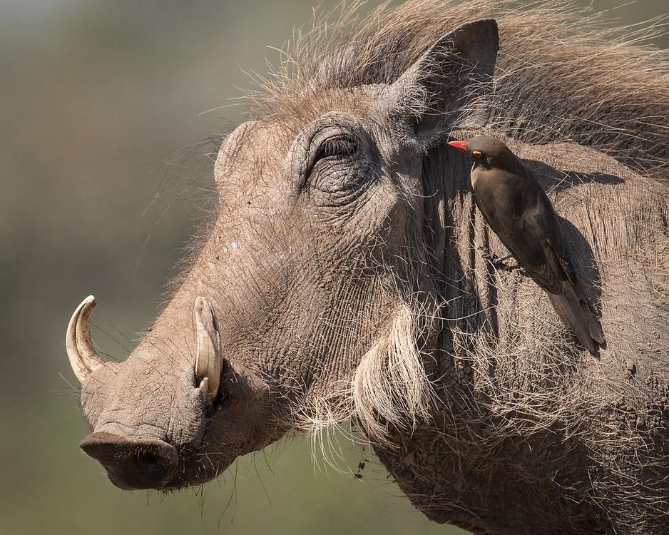 Phacochoerus africanus, Botswana