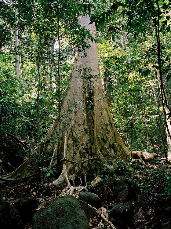 Giant tree in the rain forest, North Andaman Island
