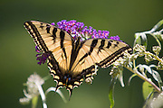 Swallowtail Butterfly on Butterfly Bush