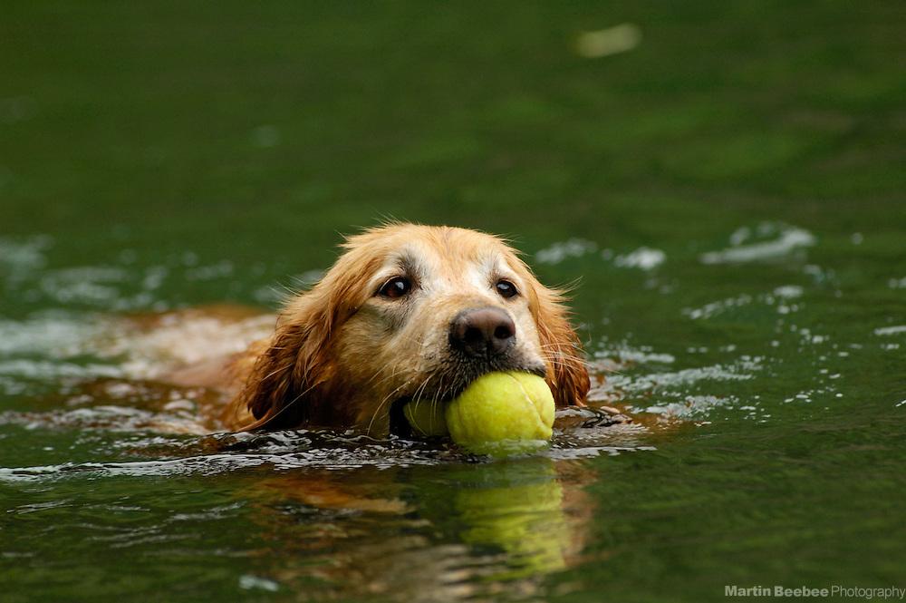 A golden retriever swims through the water to retrieve a tennis ball