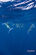 striped marlin, Kajikia audax (formerly Tetrapturus audax ), breaches out of water while feeding on baitball of sardines or pilchards, Sardinops sagax, off Baja California, Mexico ( Eastern Pacific Ocean ) #5 in sequence of 5 images