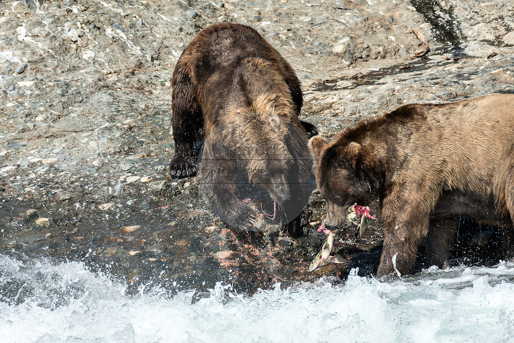 Two large adult grizzly bear boars fight over a fish in the upper McNeil River falls at the McNeil River State Game Sanctuary on the Kenai Peninsula, Alaska. The remote site is accessed only with a special permit and is the world's largest seasonal population of brown bears.